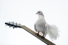 White pigeon on guitar. Isolated in white background Royalty Free Stock Image