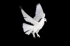 White pigeon and  hand Stock Photos