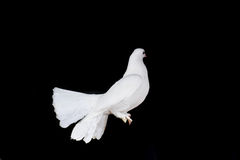 White pigeon and  hand Royalty Free Stock Image
