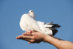 White pigeon in hand Stock Photos