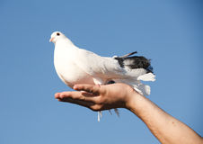 White pigeon in hand Stock Images