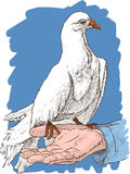White pigeon on a hand Stock Photography