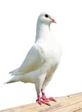White pigeon - imperial-pigeon - ducula Stock Images