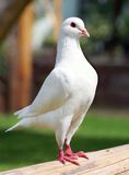 White pigeon - imperial-pigeon - ducula. View of White pigeon - imperial-pigeon - ducula Stock Image