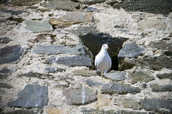 White Pigeon inside Castle wall. White pigeon looking out Castle wall located Castillo Sohail, Spain royalty free stock image