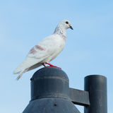 White Pigeon. Stock Photography
