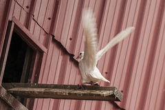 White pigeon,landing, Royalty Free Stock Photos