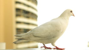 White Pigeon On The Ledge stock video