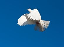 White pigeon Royalty Free Stock Photos