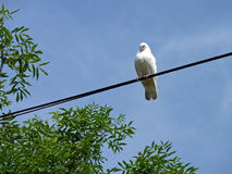 White Pigeon Perched on Cable. A white pigeon perched on a cable Stock Photo