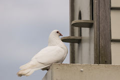 White pigeon perched at dovecote