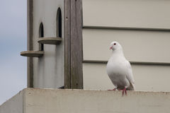 White pigeon with pigeon house Royalty Free Stock Images