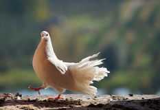 White pigeon. Royalty Free Stock Photos