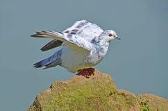 White pigeon portrait Stock Photos