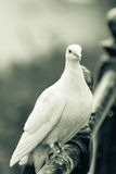White pigeon on the railing B. Shallow Depth of Field, captured at Worcester, England, UK Stock Photo