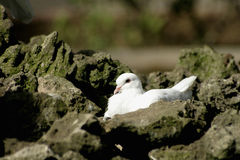 White Pigeon Among Rocks. White pigeon on rocks, probably hatching eggs Stock Photos