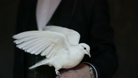 White pigeon sitting on the arm of a man and waving wings. Pigeon and illusionist in black suit. Slow motion stock video footage