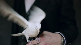 White pigeon sitting on the arm of a man and waving wings. Pigeon and illusionist in black suit. Slow motion stock video