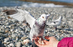 White pigeon sitting on hand Royalty Free Stock Image