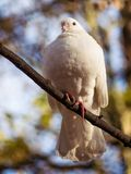 A white pigeon sitting high on a branch Stock Images