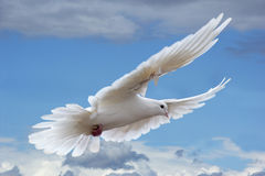 White pigeon in the skies. Flying white pigeon in the clouded blue skies royalty free stock image