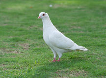 White pigeon standing on grass lawn. Was taken in the park a white pigeon standing on grass lawn Stock Image
