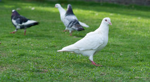 White pigeon standing on grass lawn Stock Image