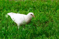 White Pigeon Standing on Green Grass Royalty Free Stock Image