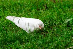 White Pigeon Standing on Green Grass Stock Image