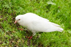 White Pigeon Standing on Green Grass Stock Images