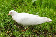 White Pigeon Standing on Green Grass Stock Photos