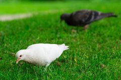 White Pigeon Standing on Green Grass Stock Photo