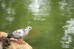 White pigeon standing on a rock near pond Royalty Free Stock Image