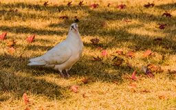 White pigeon standing in the shade. Closeup of a white pigeon standing in the shade with dry leaves scattered on the ground Royalty Free Stock Photo