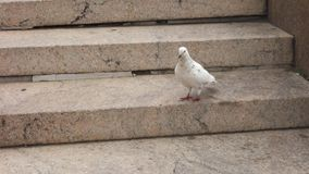 White Pigeon on Steps stock footage