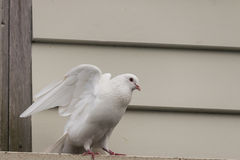 White pigeon taking off Stock Images
