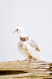 White pigeon,thin pegion,poor pegion Stock Photos