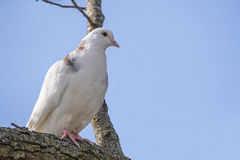 White pigeon,tree,feathers perched on tree limb,wildlife, Royalty Free Stock Photo