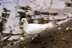White pigeon. Royalty Free Stock Image