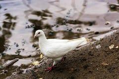 White pigeon. Royalty Free Stock Image