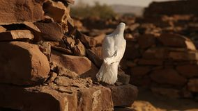 White Pigeon on the wall stock video footage