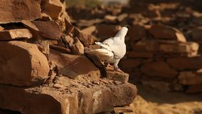 White Pigeon on the wall stock footage