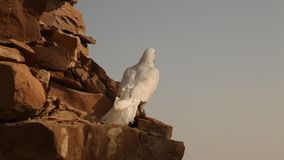 White Pigeon on the wall stock video
