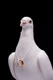 White pigeon. And wedding rings isolated in black background Stock Photography