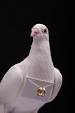 White pigeon. And wedding rings isolated in black background Royalty Free Stock Image