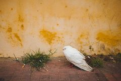 White pigeon. Also known as a release dove sitting on the ground against a yellow wall background Stock Photography