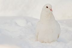 White pigeon on the white snow Stock Photography