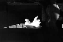 White pigeon in the window Stock Photography