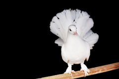 White pigeons Stock Photos