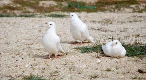 White pigeons Stock Images
